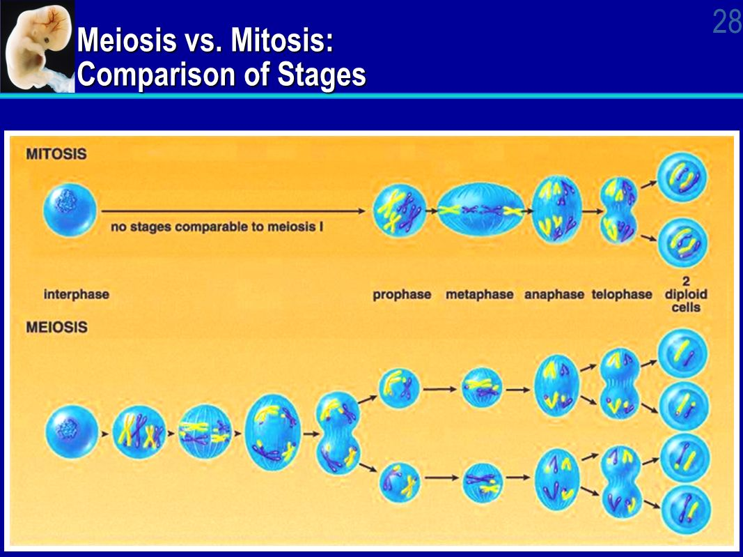 meiosis mitosis and homologous chromosomes exchange In mitosis, homologous chromosomes line up  in prophase i of meiosis, the homologous chromosomes  in which homologous chromosomes are paired and.