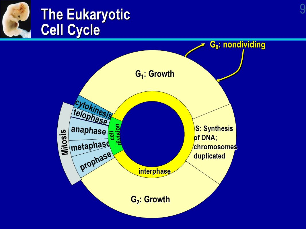 Ap biology cell cycle essay
