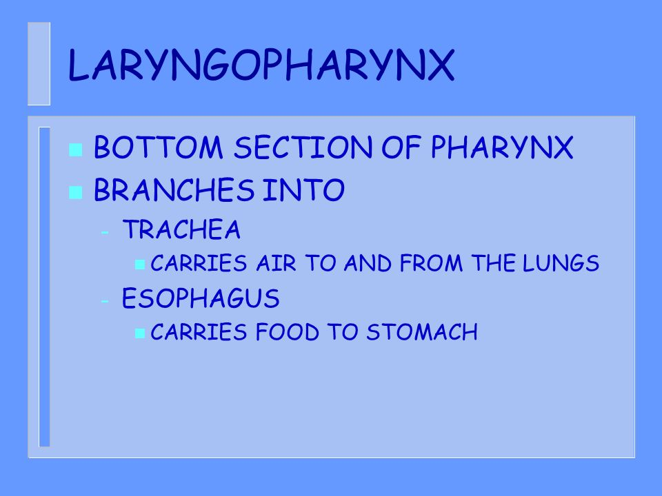 LARYNGOPHARYNX BOTTOM SECTION OF PHARYNX BRANCHES INTO TRACHEA