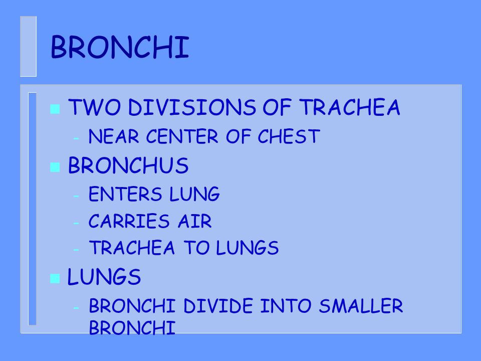 BRONCHI TWO DIVISIONS OF TRACHEA BRONCHUS LUNGS NEAR CENTER OF CHEST