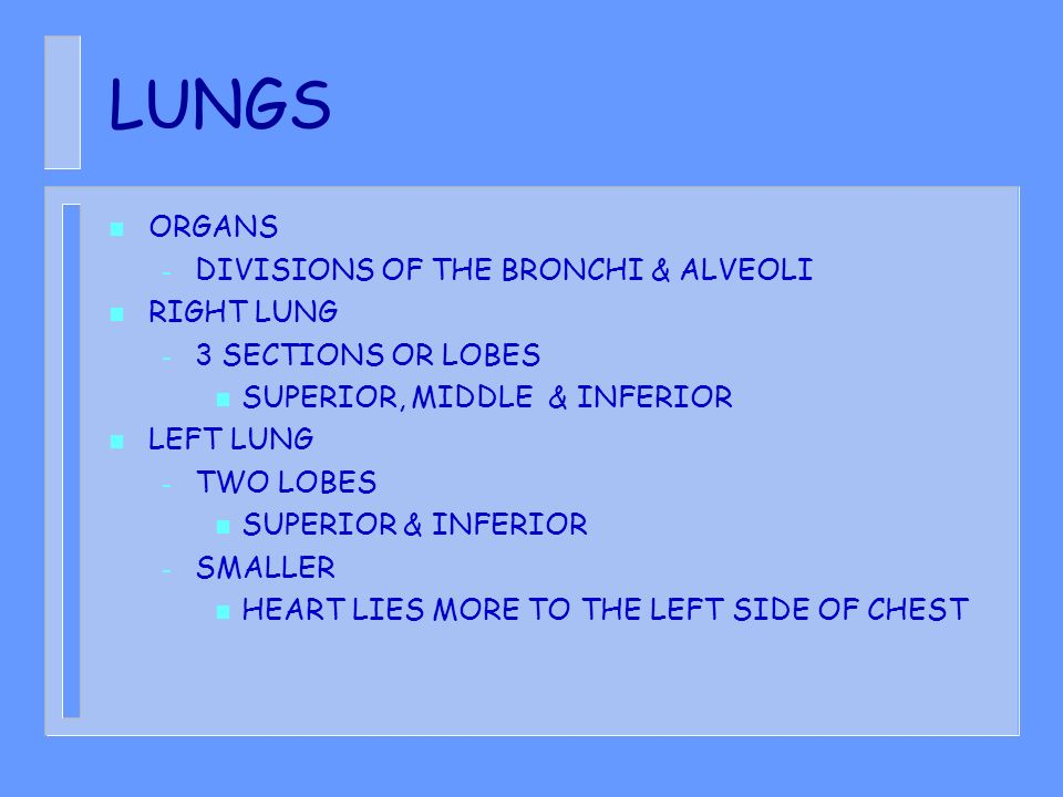 LUNGS ORGANS DIVISIONS OF THE BRONCHI & ALVEOLI RIGHT LUNG