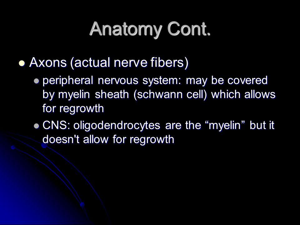 Anatomy Cont. Axons (actual nerve fibers)