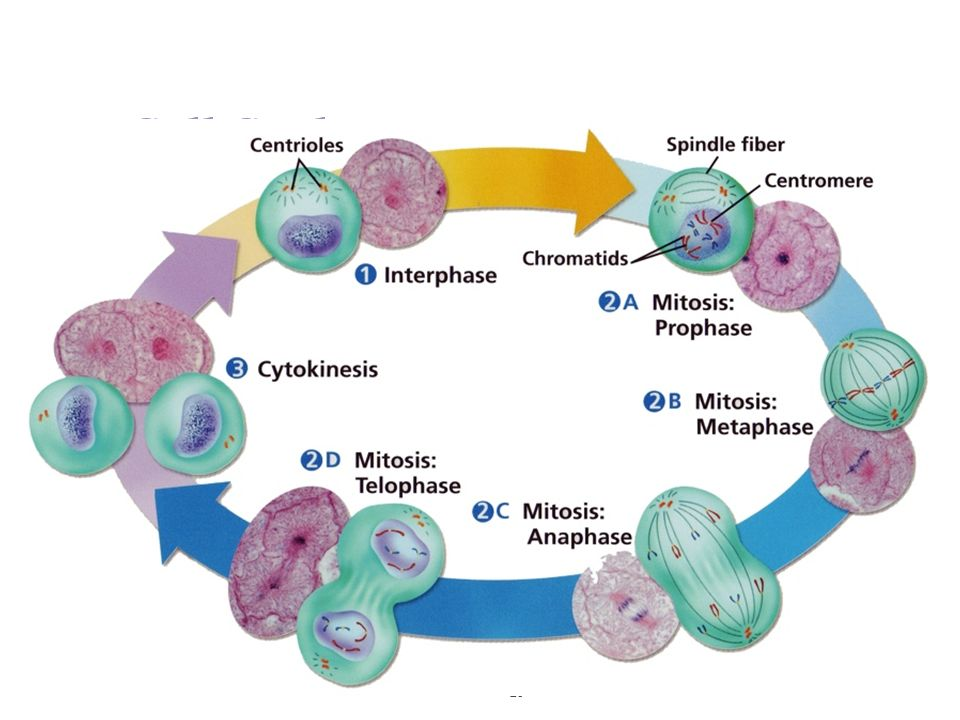 mitosis and the cell cycle ppt download