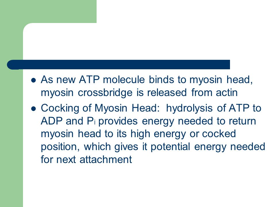 As new ATP molecule binds to myosin head, myosin crossbridge is released from actin