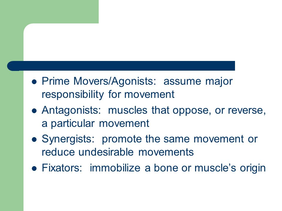 Prime Movers/Agonists: assume major responsibility for movement