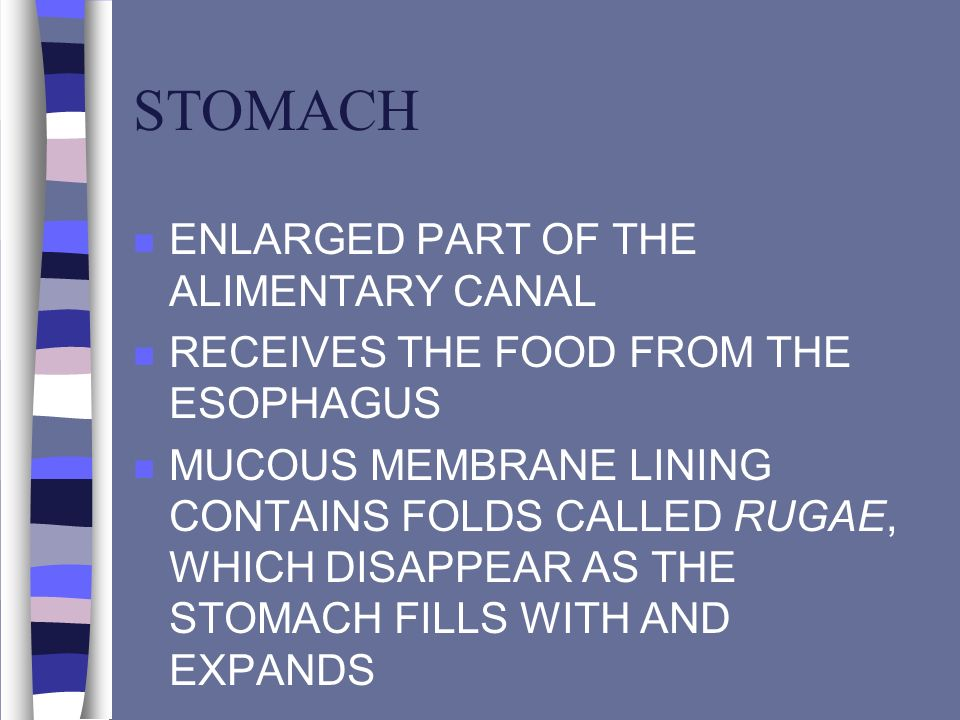 STOMACH ENLARGED PART OF THE ALIMENTARY CANAL