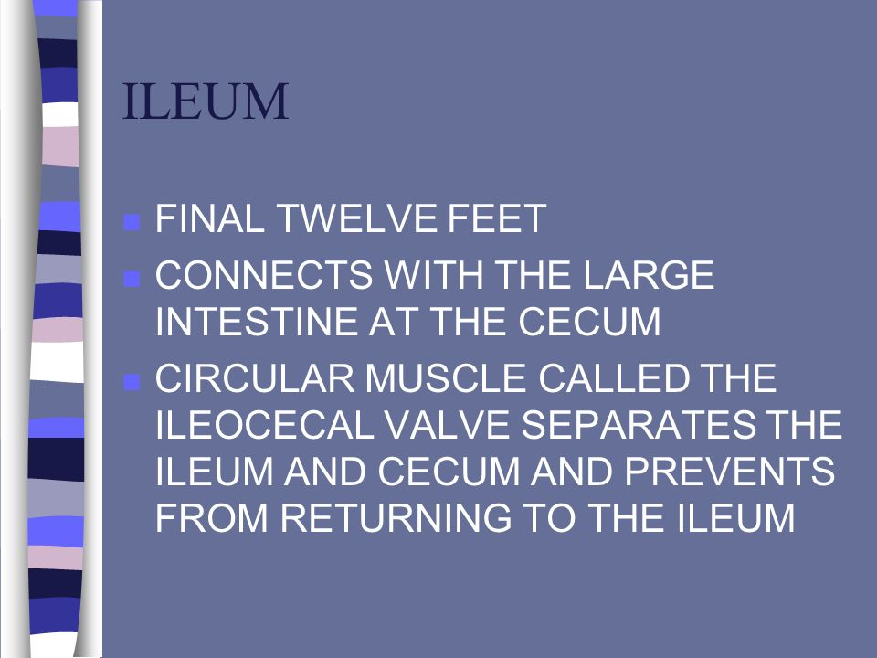 ILEUM FINAL TWELVE FEET CONNECTS WITH THE LARGE INTESTINE AT THE CECUM
