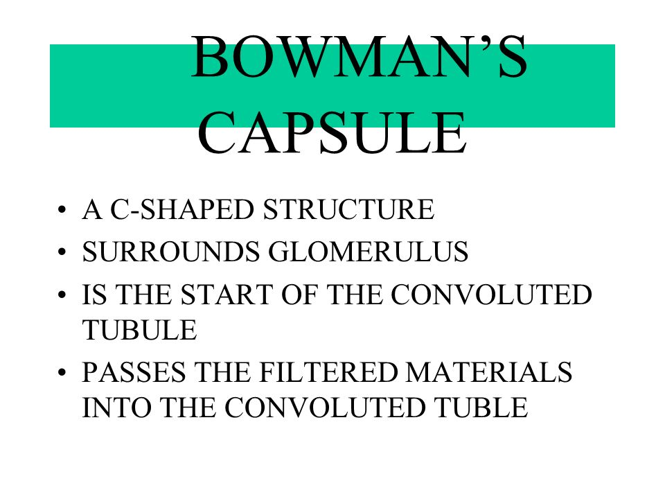 BOWMAN'S CAPSULE A C-SHAPED STRUCTURE SURROUNDS GLOMERULUS