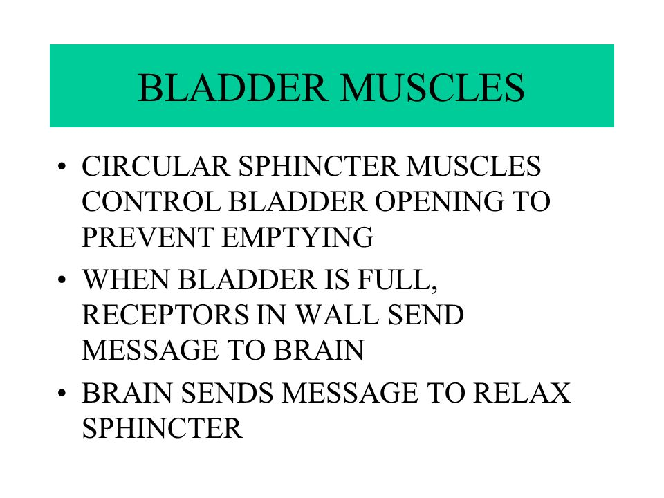 BLADDER MUSCLES CIRCULAR SPHINCTER MUSCLES CONTROL BLADDER OPENING TO PREVENT EMPTYING.