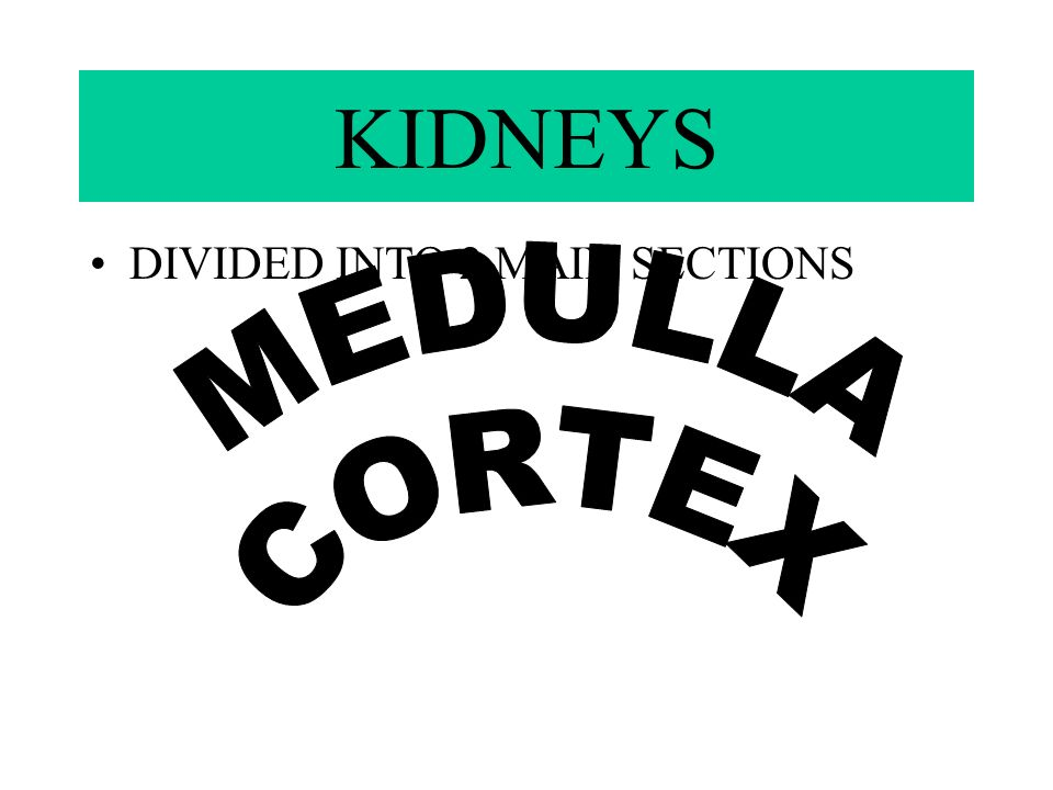 KIDNEYS DIVIDED INTO 2 MAIN SECTIONS MEDULLA CORTEX