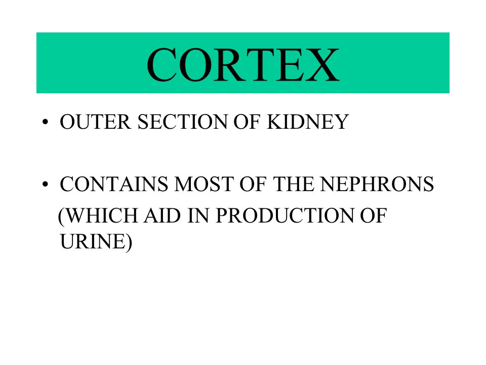 CORTEX OUTER SECTION OF KIDNEY CONTAINS MOST OF THE NEPHRONS