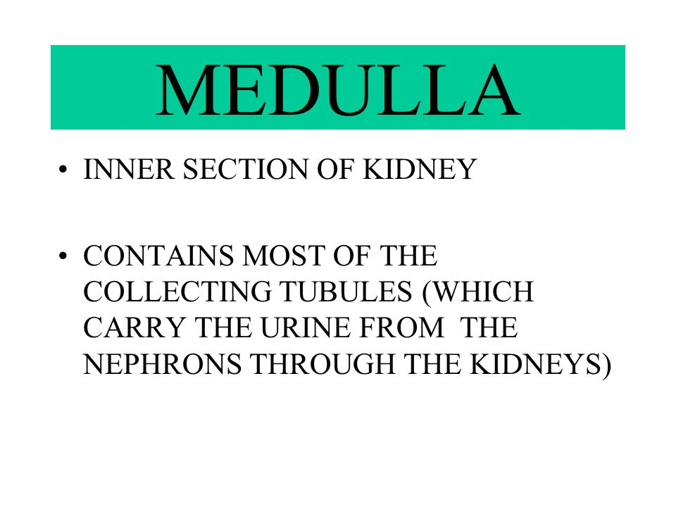 MEDULLA INNER SECTION OF KIDNEY