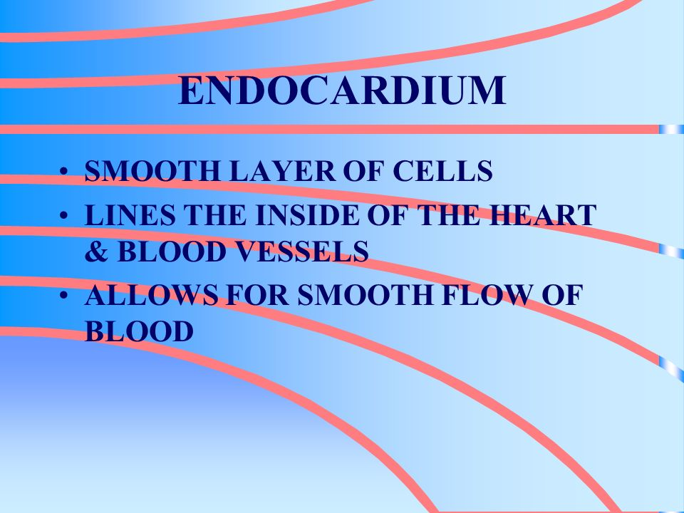 ENDOCARDIUM SMOOTH LAYER OF CELLS