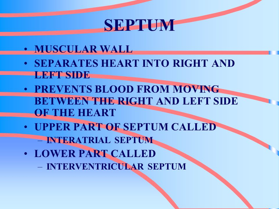 SEPTUM MUSCULAR WALL SEPARATES HEART INTO RIGHT AND LEFT SIDE