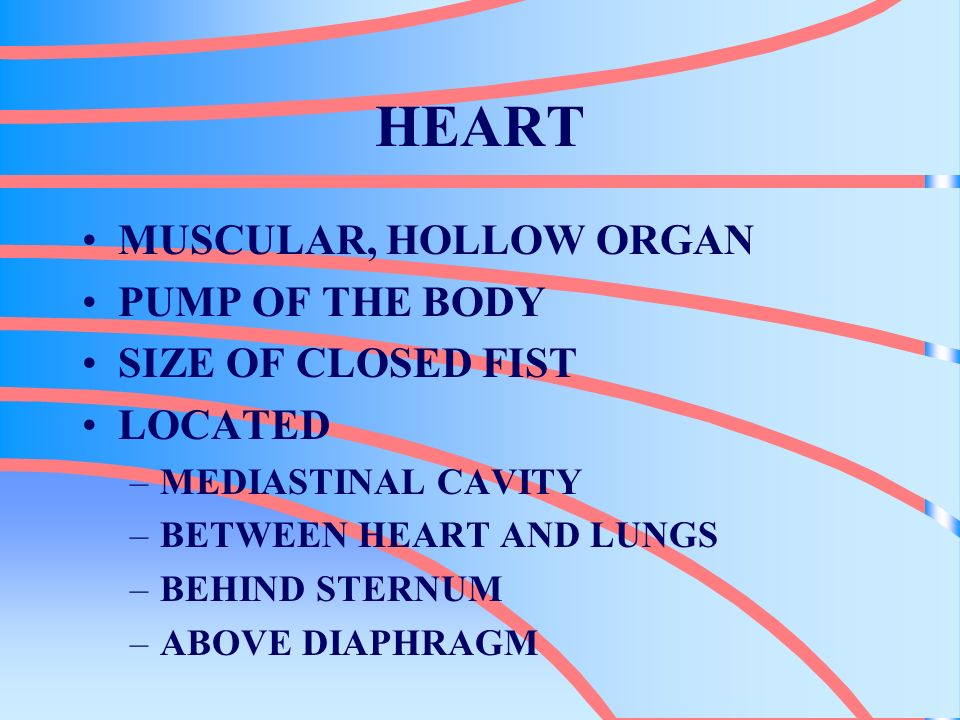 HEART MUSCULAR, HOLLOW ORGAN PUMP OF THE BODY SIZE OF CLOSED FIST