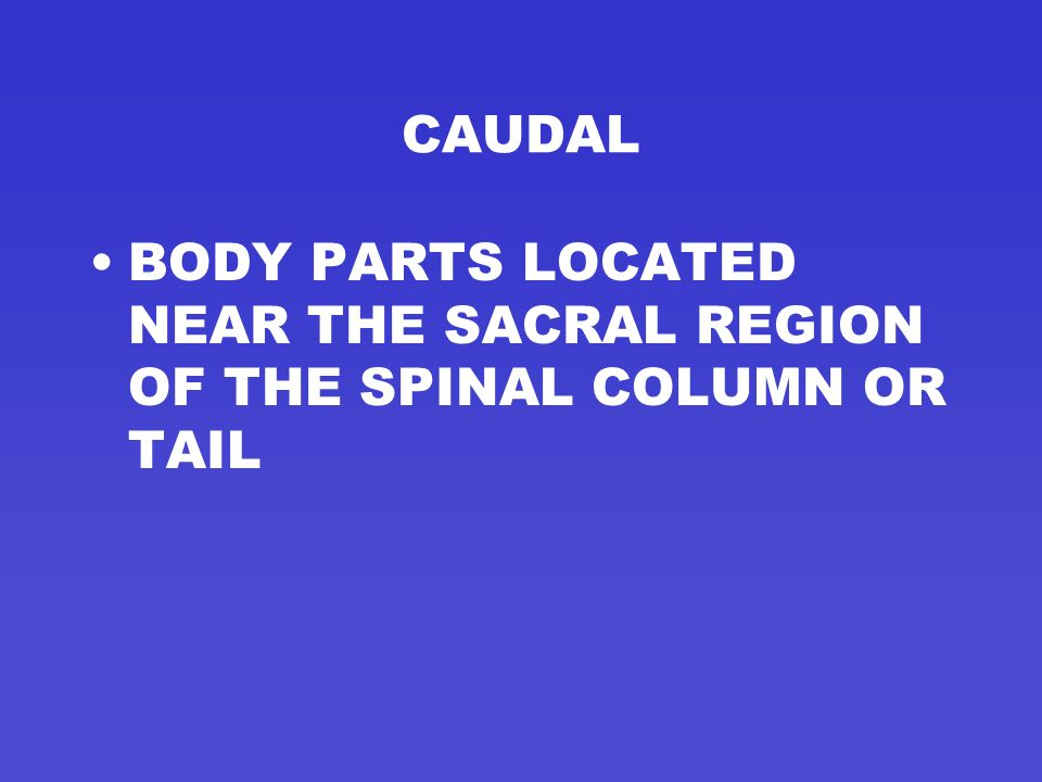 CAUDAL BODY PARTS LOCATED NEAR THE SACRAL REGION OF THE SPINAL COLUMN OR TAIL