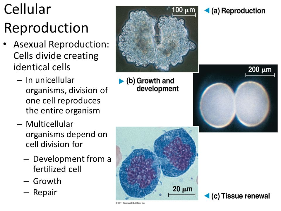 Cell division used for asexual reproduction by unicellular organisms images 88