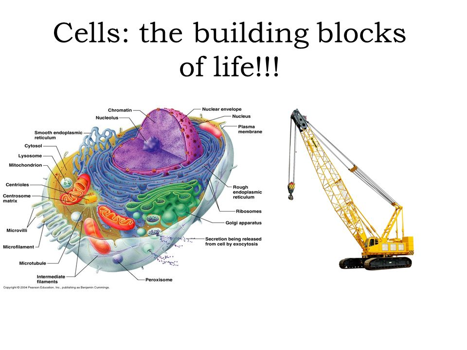 Cells The Building Blocks Of Life Ppt