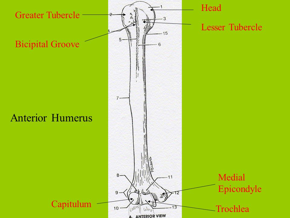 Anterior Humerus Head Greater Tubercle Lesser Tubercle