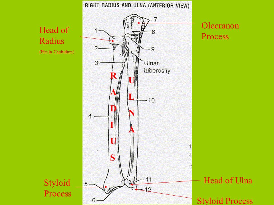 Olecranon Process Head of Radius R A U L D N I A U S Head of Ulna