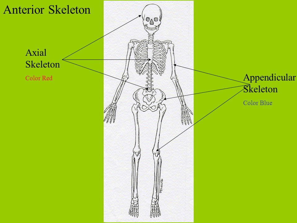 Anterior Skeleton Axial Skeleton Appendicular Skeleton Color Red