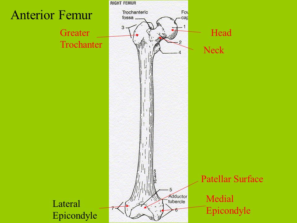 Anterior Femur Greater Trochanter Head Neck Patellar Surface