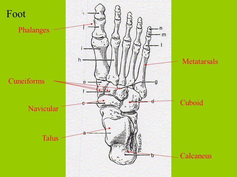 Foot Phalanges Metatarsals Cuneiforms Cuboid Navicular Talus Calcaneus