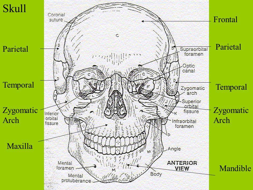 Skull Frontal Parietal Parietal Temporal Temporal Zygomatic Arch