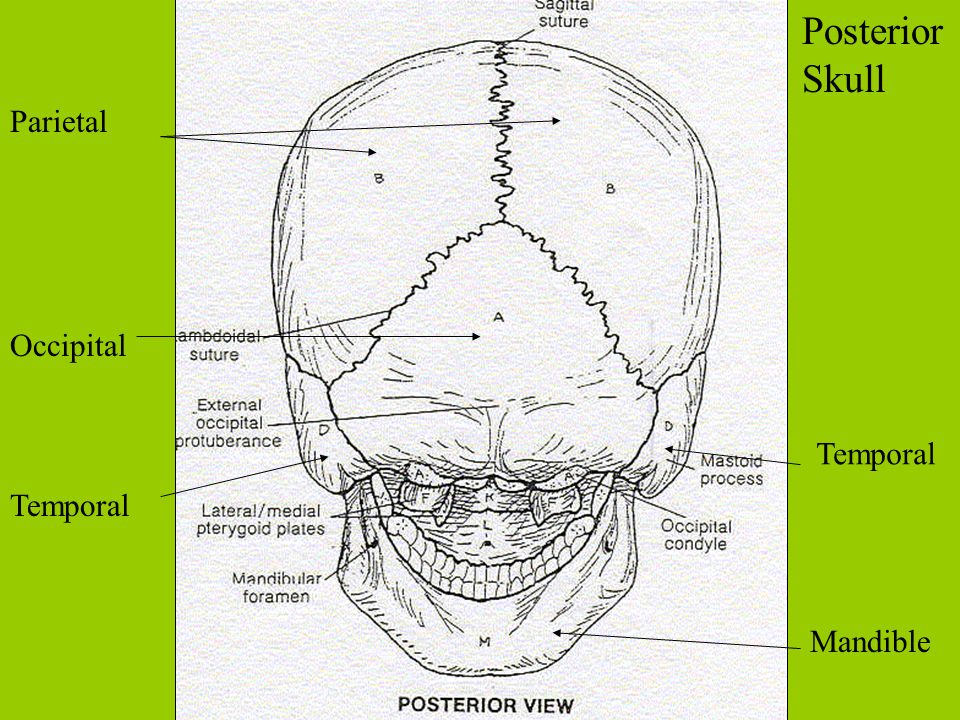 Posterior Skull Parietal Occipital Temporal Temporal Mandible