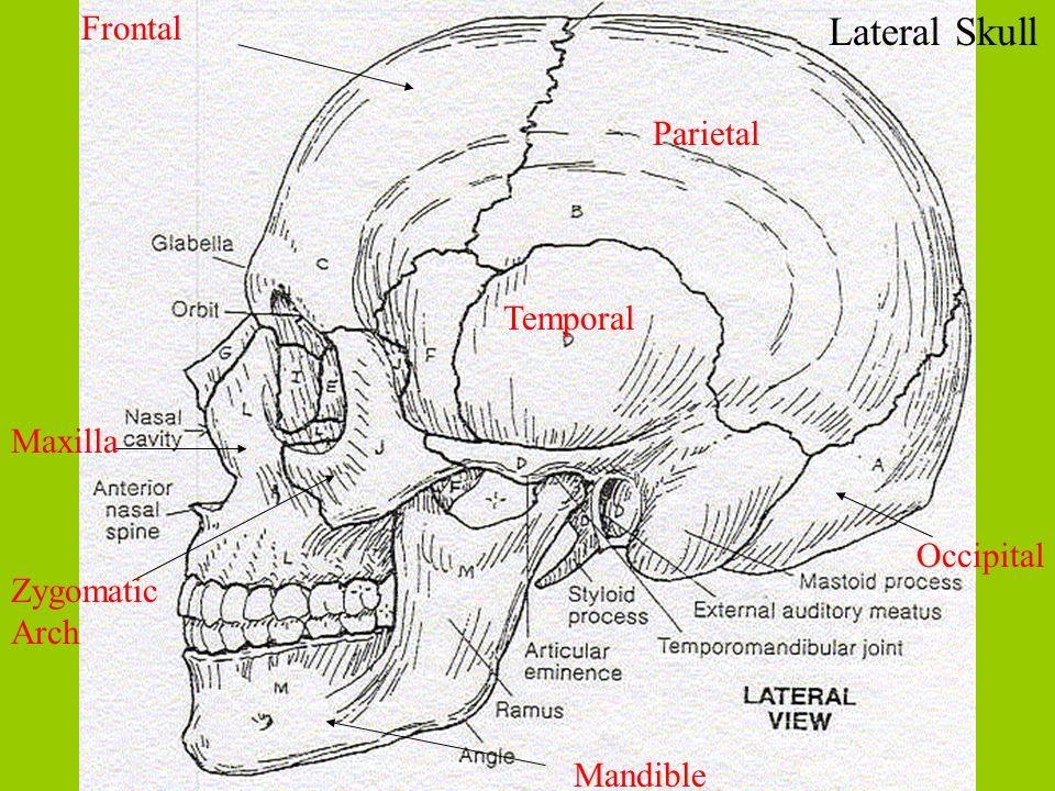 Lateral Skull Frontal Parietal Temporal Maxilla Occipital