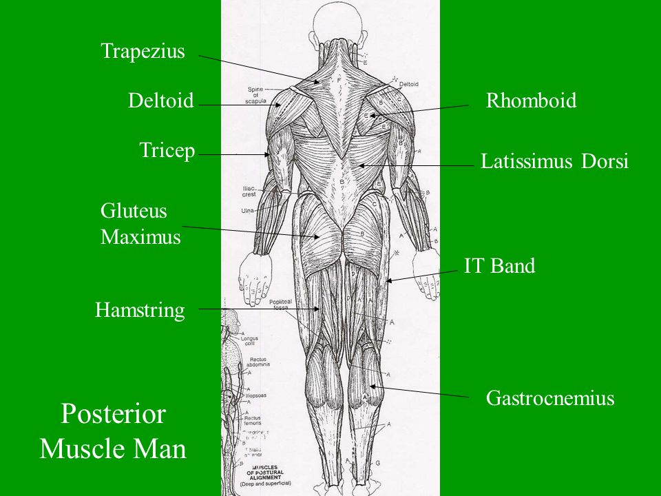 Posterior Muscle Man Trapezius Deltoid Rhomboid Tricep