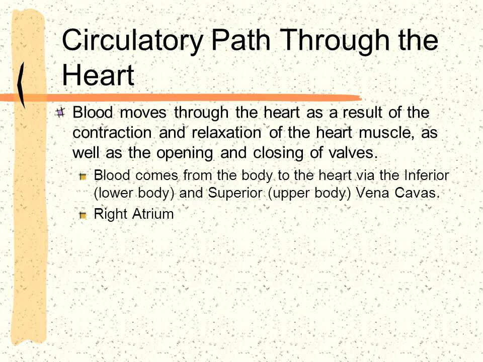 Circulatory Path Through the Heart