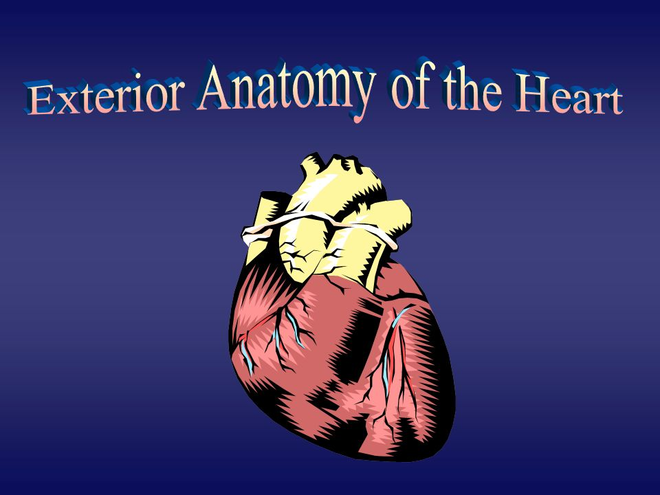 Exterior Anatomy of the Heart