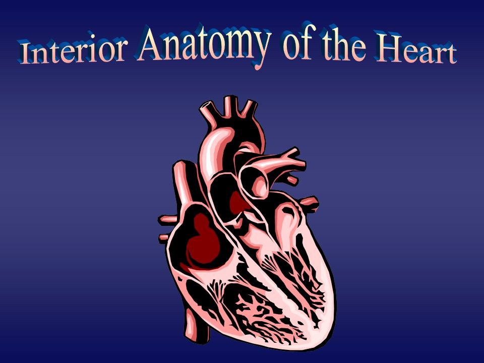 Interior Anatomy of the Heart