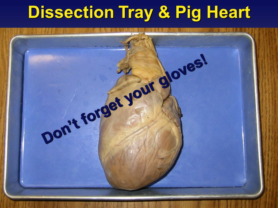 Dissection Tray & Pig Heart Don't forget your gloves!
