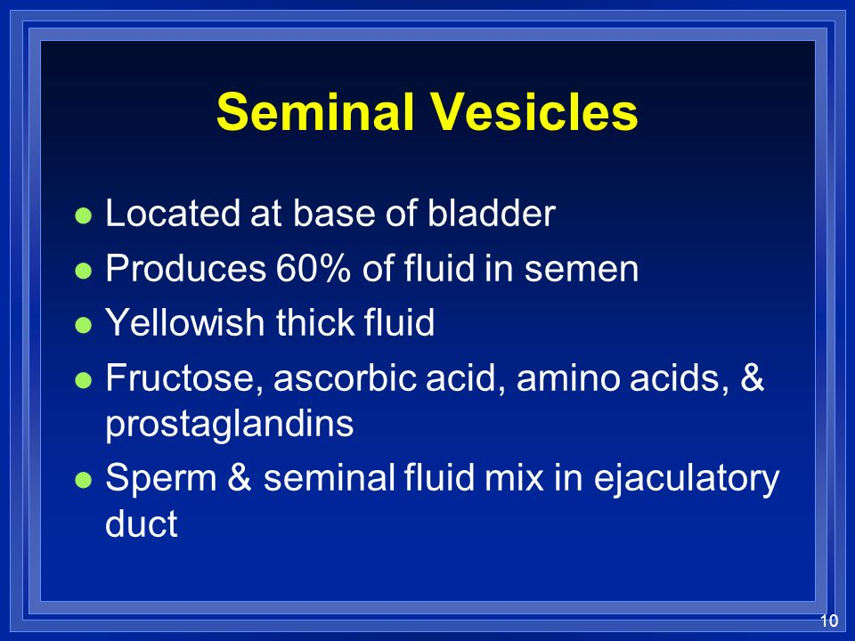 Seminal Vesicles Located at base of bladder