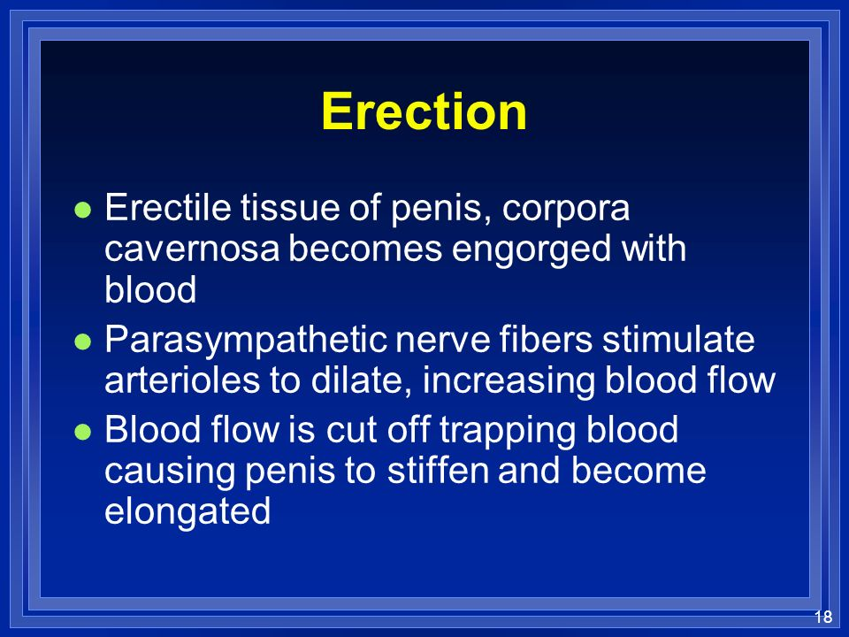 Erection Erectile tissue of penis, corpora cavernosa becomes engorged with blood.