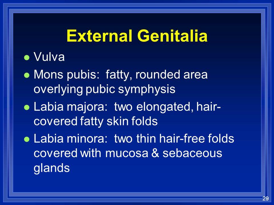 External Genitalia Vulva