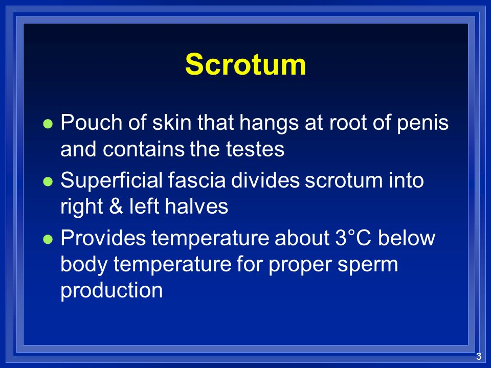 Scrotum Pouch of skin that hangs at root of penis and contains the testes. Superficial fascia divides scrotum into right & left halves.