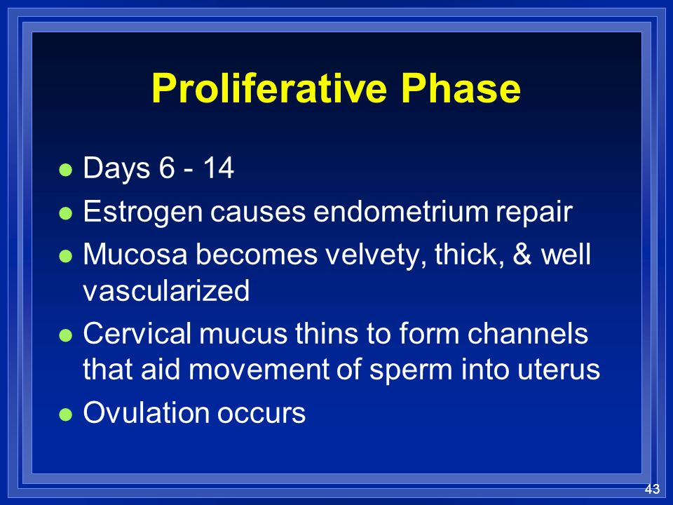 Proliferative Phase Days 6 - 14 Estrogen causes endometrium repair