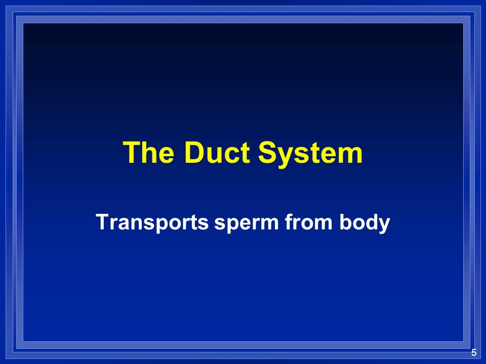Transports sperm from body