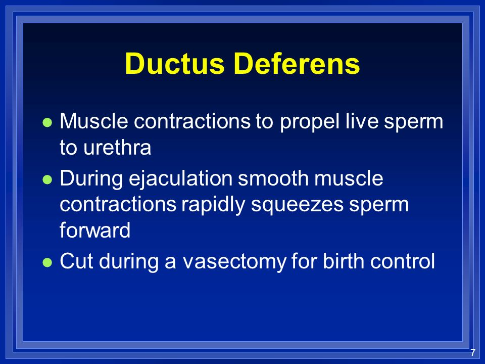 Ductus Deferens Muscle contractions to propel live sperm to urethra