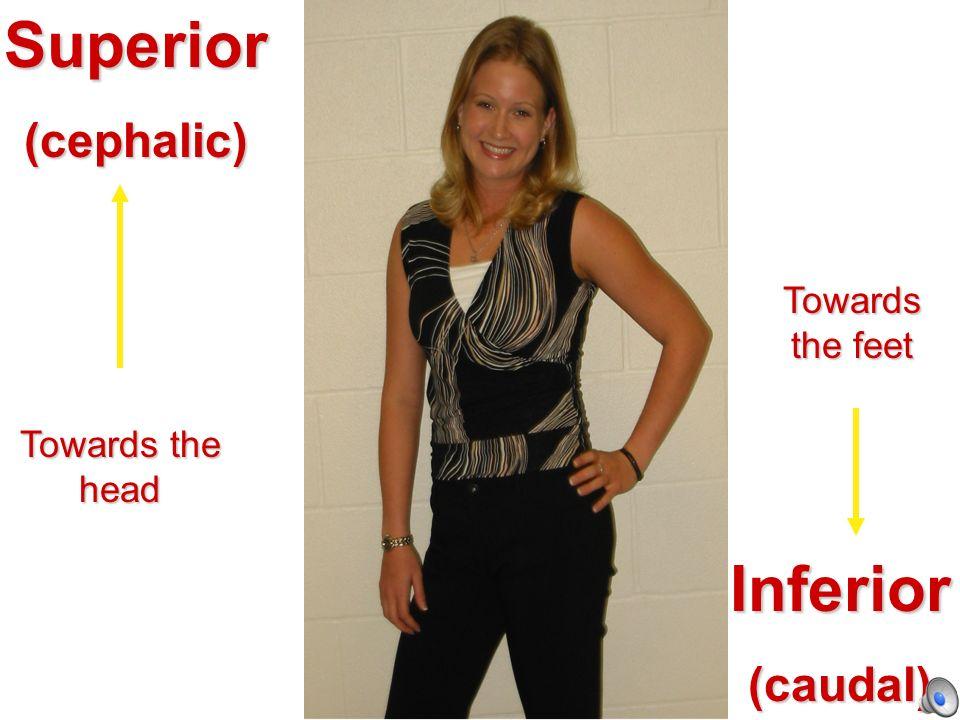 Superior Inferior (cephalic) (caudal) Towards the feet