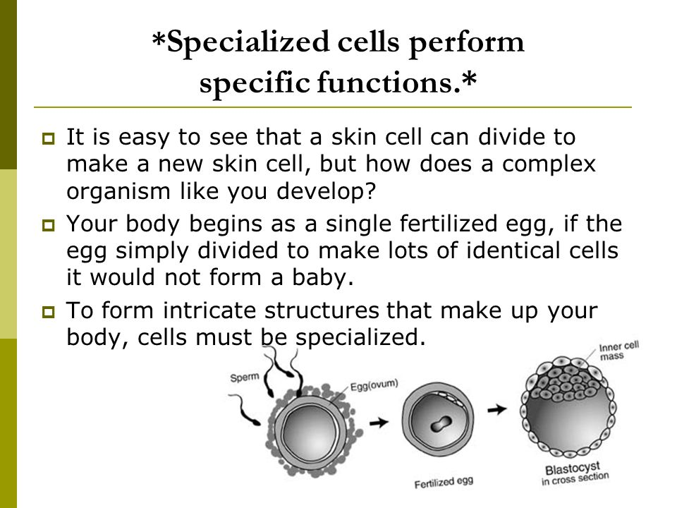 the specific functions of cells in the body The smallest units of all living organisms, cells, are a fascinating combination of individually-functioning parts there are hundreds of different.