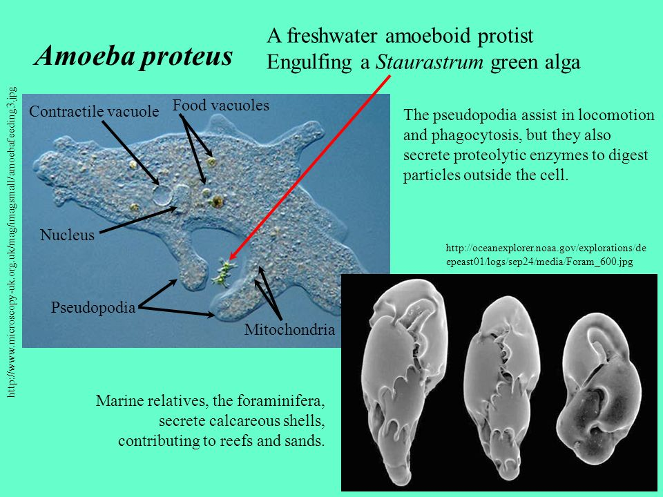 Amoeba proteus A freshwater amoeboid protist