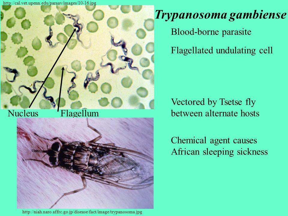 Trypanosoma gambiense