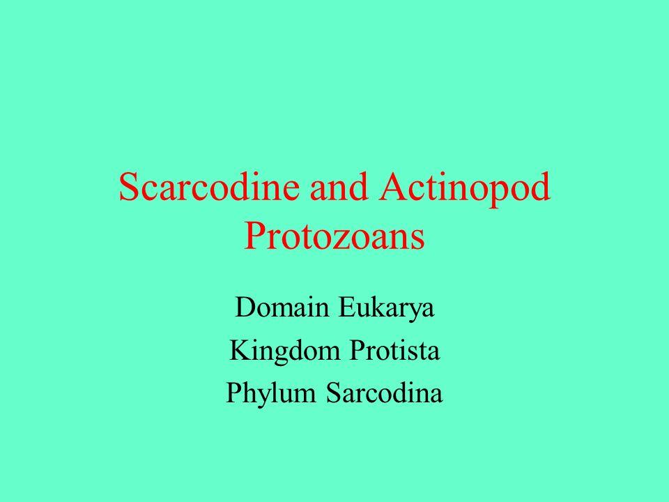 Scarcodine and Actinopod Protozoans