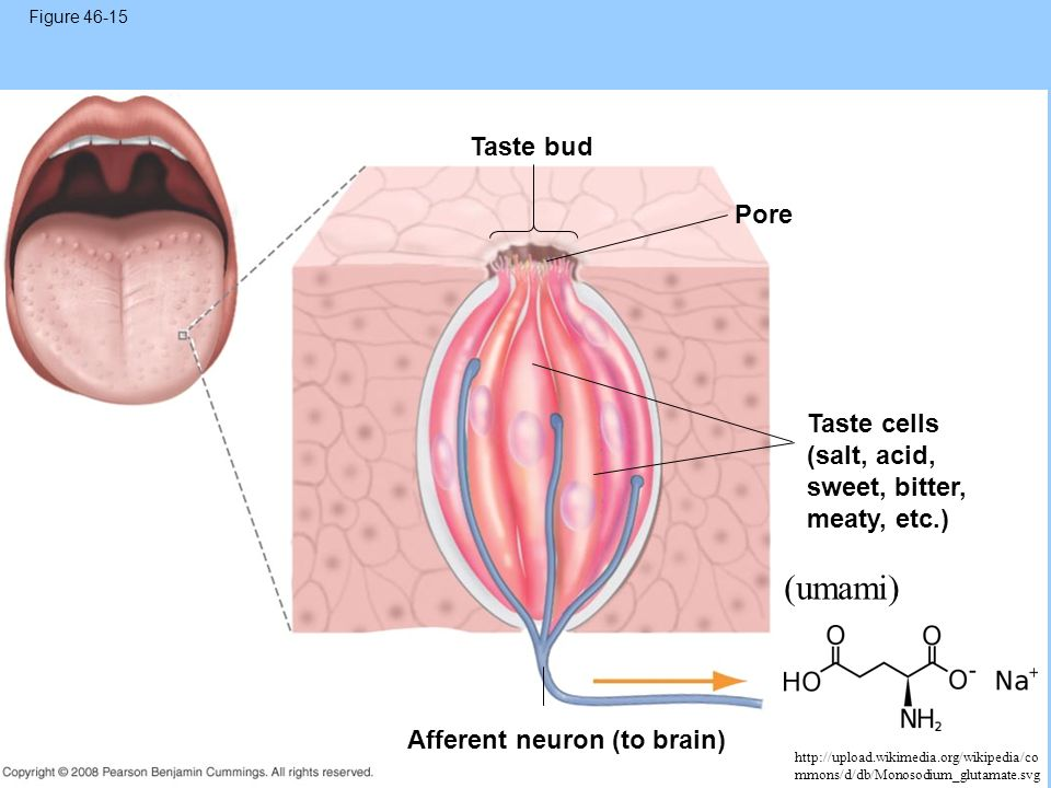 Figure 46-15 Taste bud. Pore. Taste cells (salt, acid, sweet, bitter, meaty, etc.) (umami) Afferent neuron (to brain)
