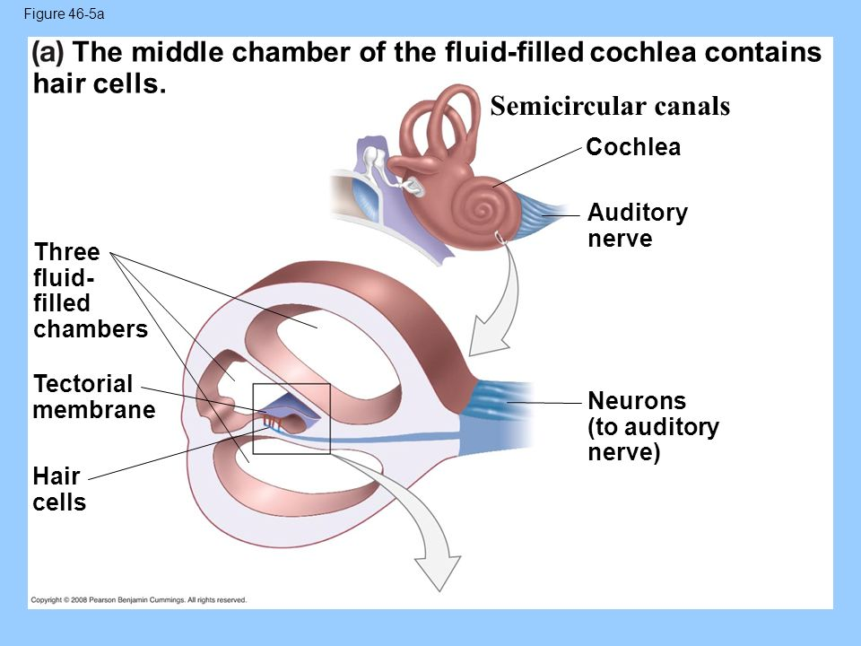 The middle chamber of the fluid-filled cochlea contains hair cells.