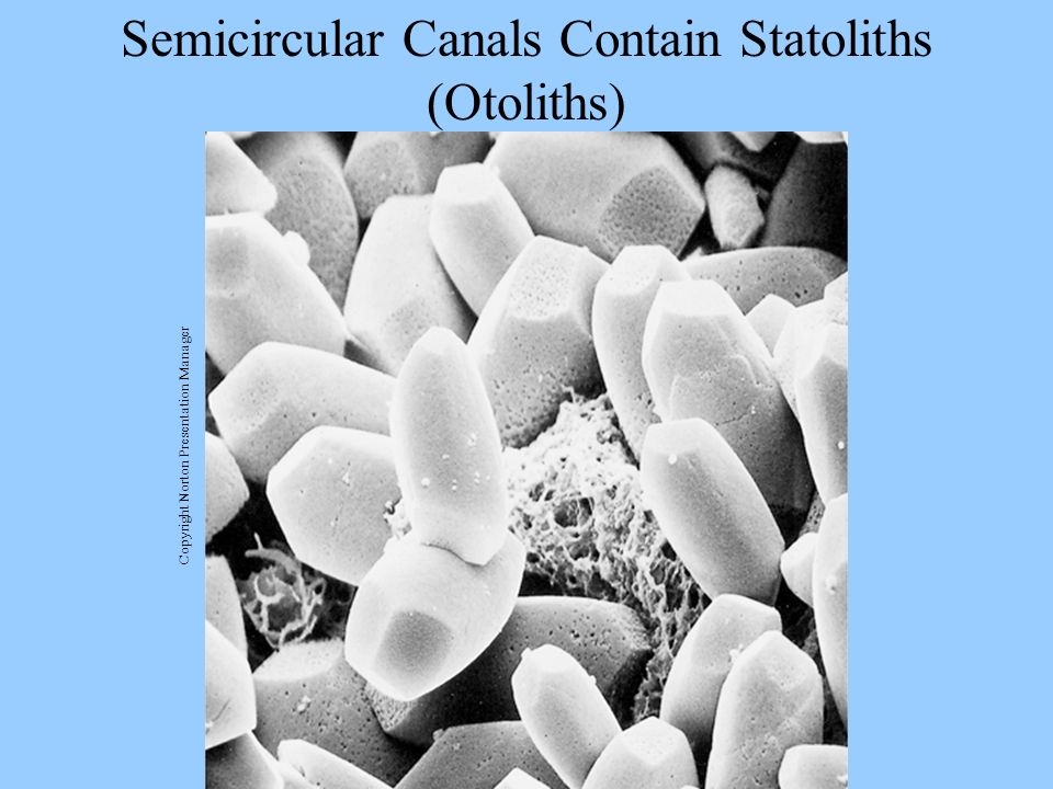 Semicircular Canals Contain Statoliths (Otoliths)